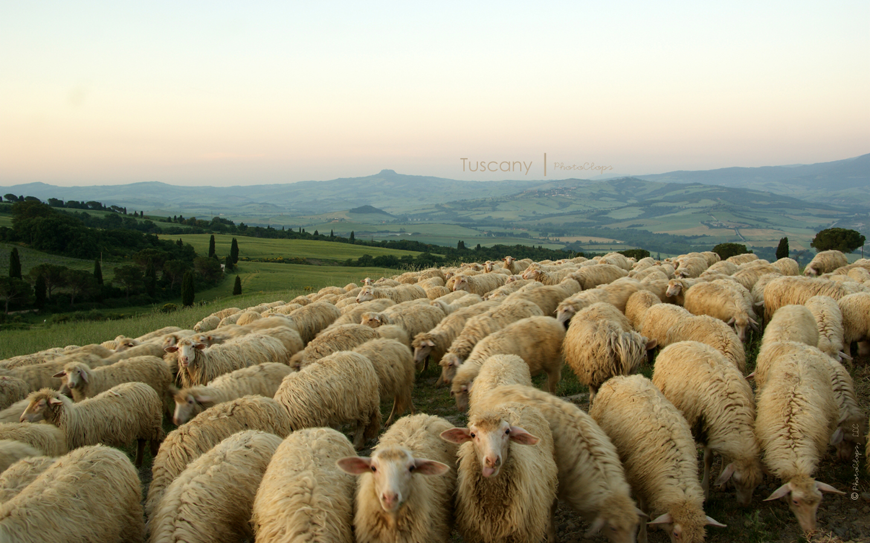 Sheep Flock Desktop Wallpaper » PhotoClops On The Web
