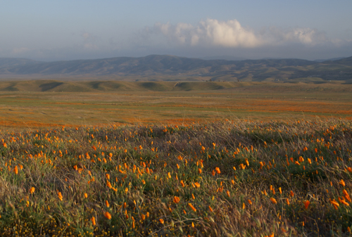 Field of Poppies in the Antelope Valley Poppy Reserve