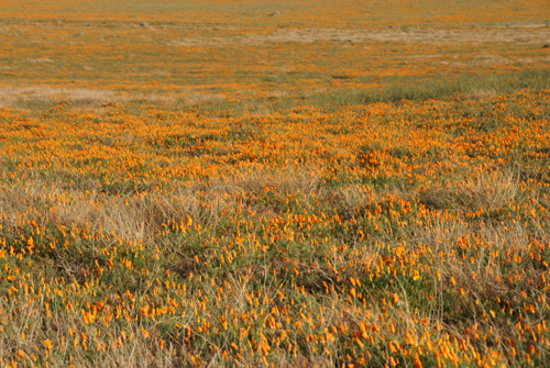 Poppies at Antelope Valley SP Poppy Reserve