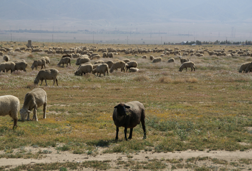 Black Sheep Eating Alone in Lancaster, California