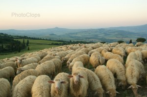 Flock Of Sheep In Tuscany
