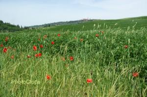 Poppies And Pienza