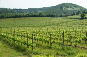 Vineyard In Montalcino
