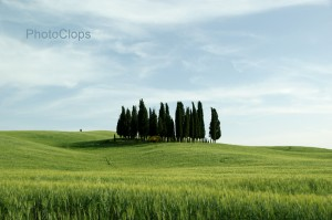 Cypress Tree Stand In Tuscany