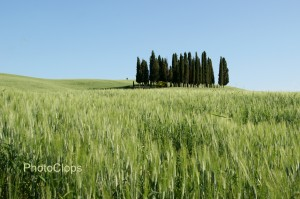 Cypress Trees In The Tall Grass