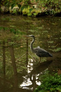 Great Blue Heron At Heian Shrine