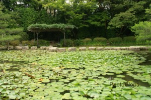 Lily Pads At Heian Shrine