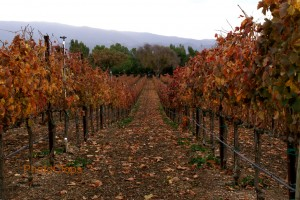 Santa Barbara Vineyard In Winter
